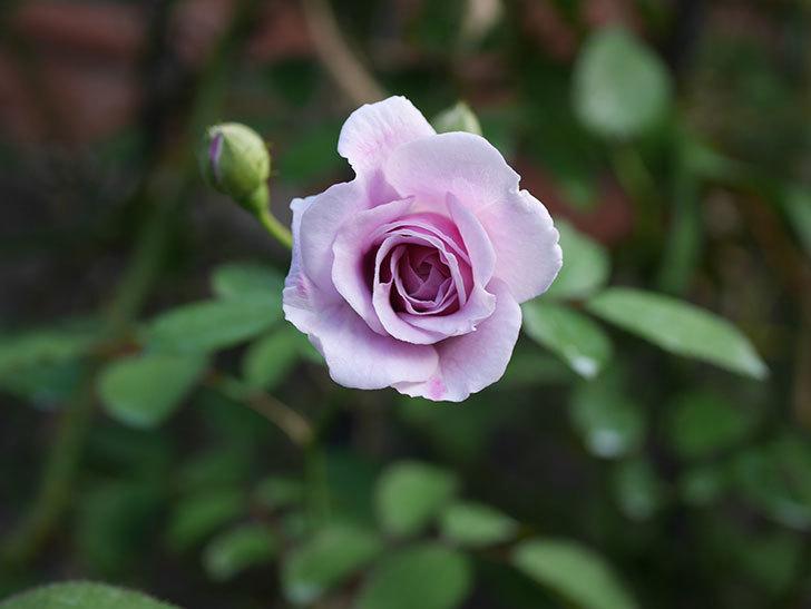 レイニーブルー(Rainy Blue)の夏花が咲いた。ツルバラ。2020年-006.jpg