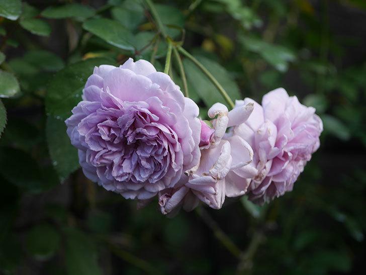 レイニーブルー(Rainy Blue)の夏花が咲いた。ツルバラ。2020年-007.jpg