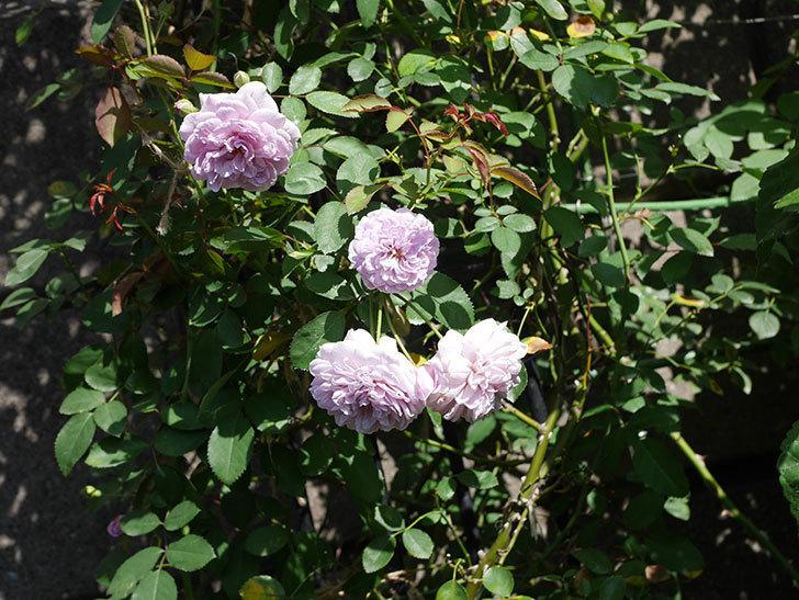 レイニーブルー(Rainy Blue)の夏花が咲いた。ツルバラ。2020年-008.jpg