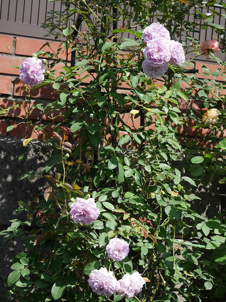 レイニーブルー(Rainy Blue)の夏花が咲いた。ツルバラ。2020年-009.jpg