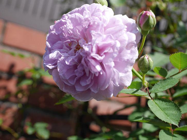 レイニーブルー(Rainy Blue)の夏花が咲いた。ツルバラ。2020年-010.jpg
