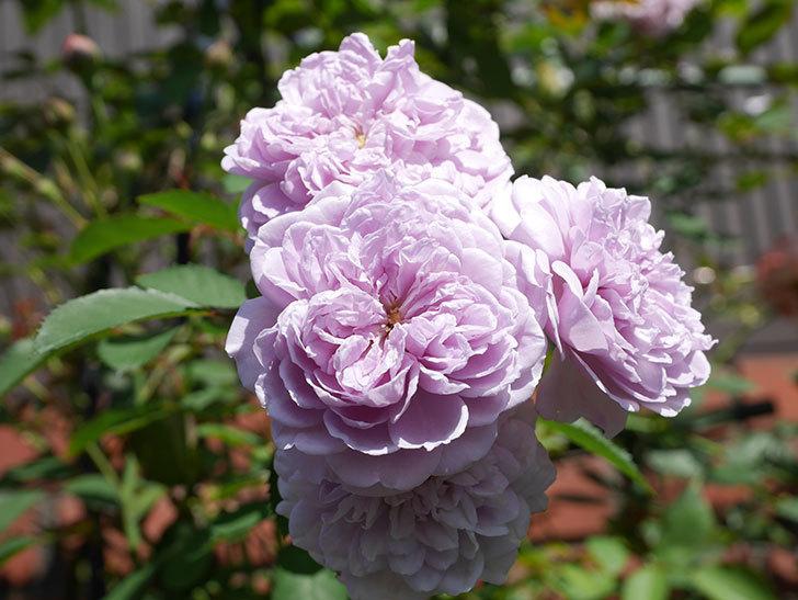 レイニーブルー(Rainy Blue)の夏花が咲いた。ツルバラ。2020年-011.jpg