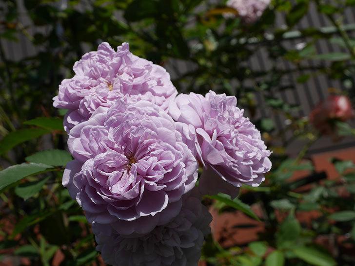 レイニーブルー(Rainy Blue)の夏花が咲いた。ツルバラ。2020年-012.jpg