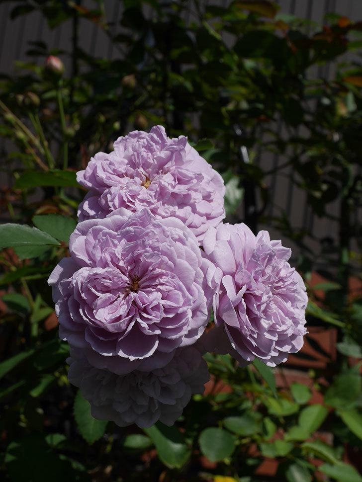 レイニーブルー(Rainy Blue)の夏花が咲いた。ツルバラ。2020年-014.jpg