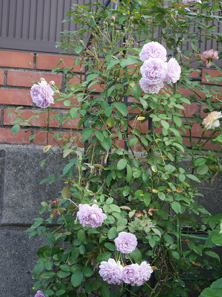 レイニーブルー(Rainy Blue)の夏花が咲いた。ツルバラ。2020年-015.jpg