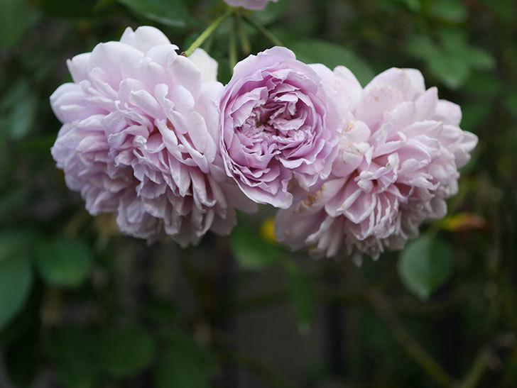 レイニーブルー(Rainy Blue)の夏花が咲いた。ツルバラ。2020年-016.jpg