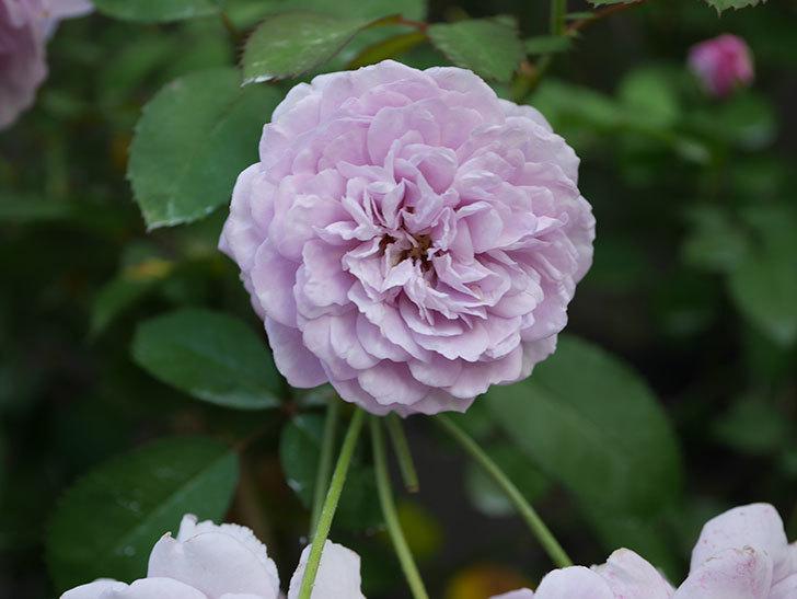 レイニーブルー(Rainy Blue)の夏花が咲いた。ツルバラ。2020年-017.jpg