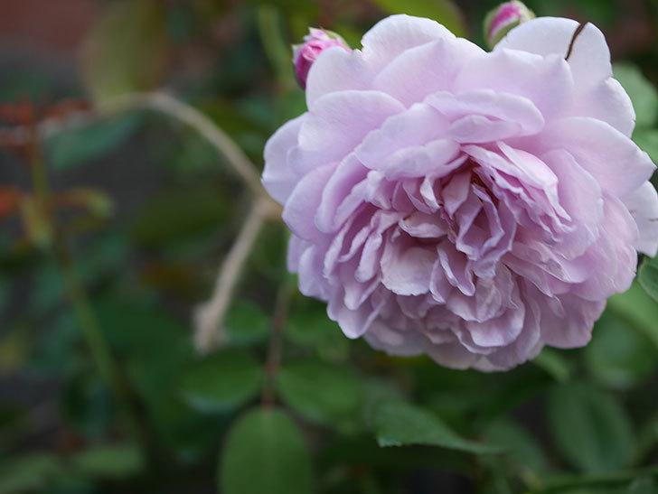 レイニーブルー(Rainy Blue)の夏花が咲いた。ツルバラ。2020年-018.jpg