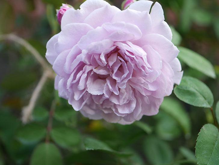 レイニーブルー(Rainy Blue)の夏花が咲いた。ツルバラ。2020年-019.jpg