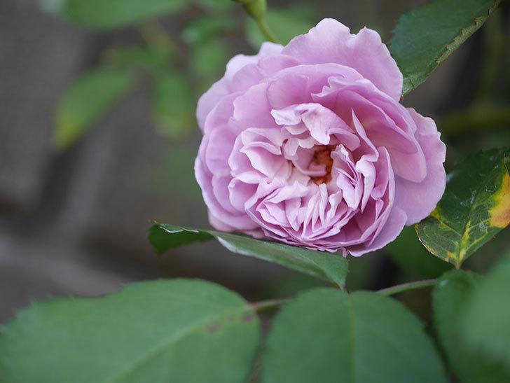 レイニーブルー(Rainy Blue)の夏花が咲いた。ツルバラ。2020年-020.jpg