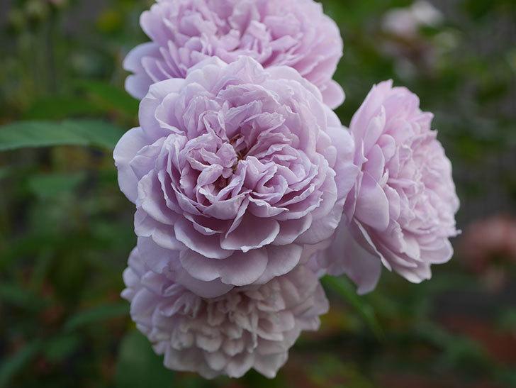 レイニーブルー(Rainy Blue)の夏花が咲いた。ツルバラ。2020年-021.jpg