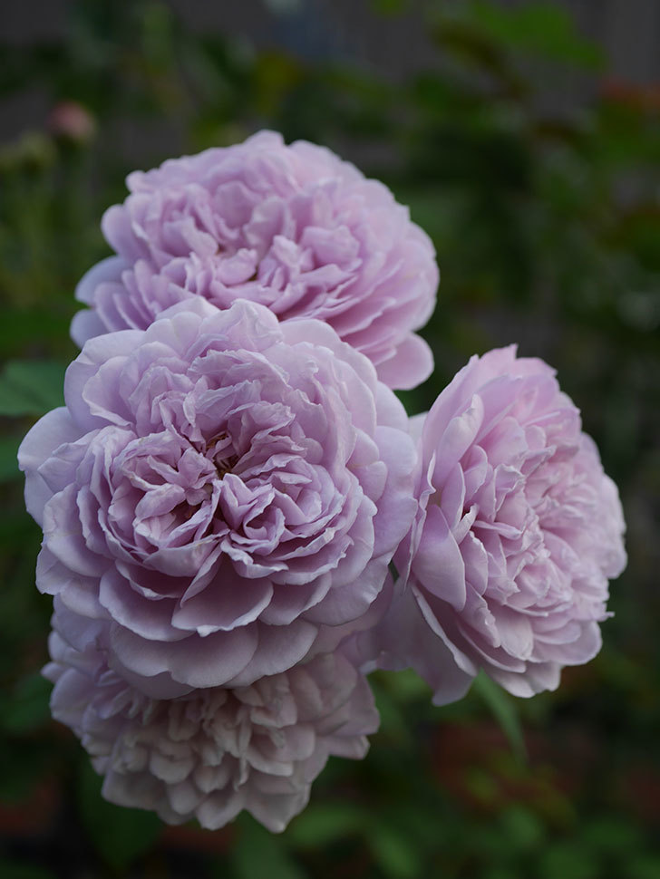 レイニーブルー(Rainy Blue)の夏花が咲いた。ツルバラ。2020年-022.jpg