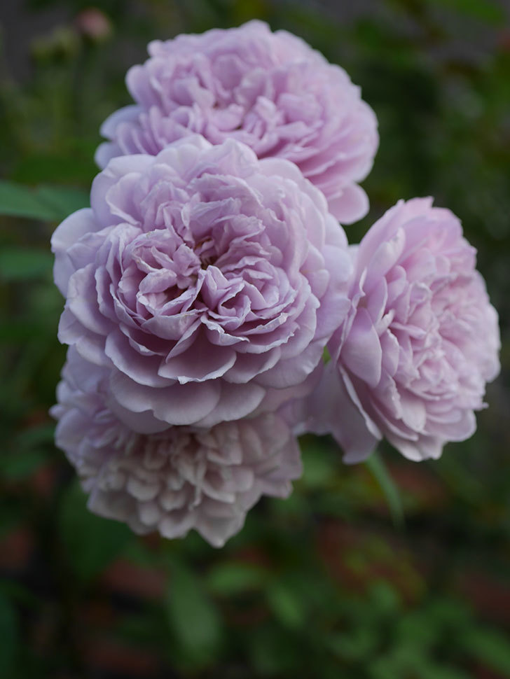 レイニーブルー(Rainy Blue)の夏花が咲いた。ツルバラ。2020年-023.jpg