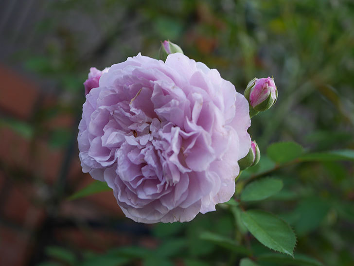 レイニーブルー(Rainy Blue)の夏花が咲いた。ツルバラ。2020年-024.jpg
