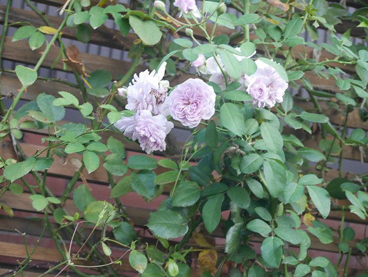 レイニーブルー(Rainy Blue)の夏花が咲いた。ツルバラ。2021年-001.jpg
