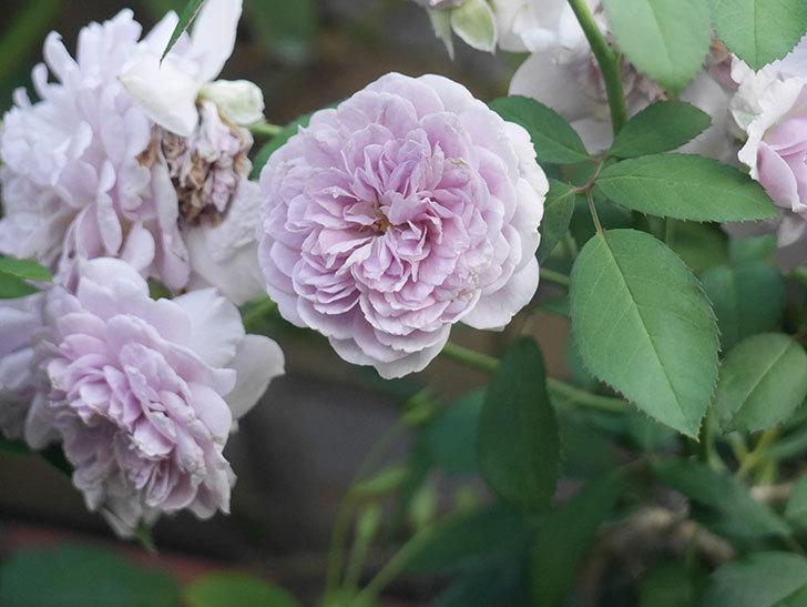 レイニーブルー(Rainy Blue)の夏花が咲いた。ツルバラ。2021年-003.jpg