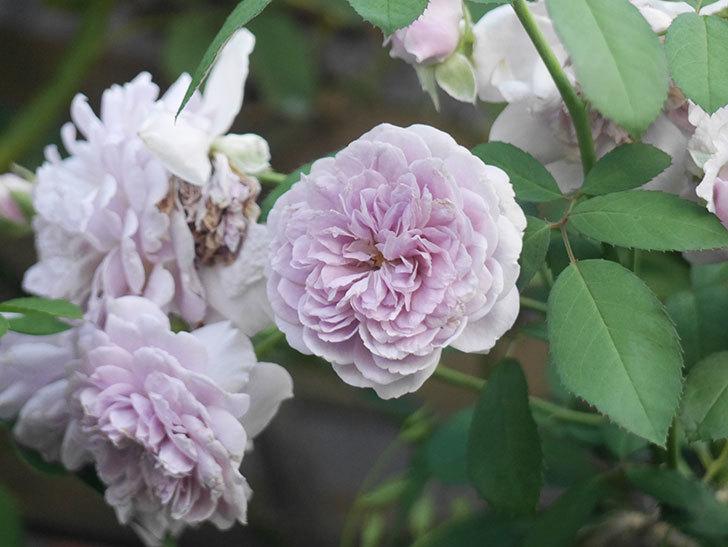 レイニーブルー(Rainy Blue)の夏花が咲いた。ツルバラ。2021年-004.jpg