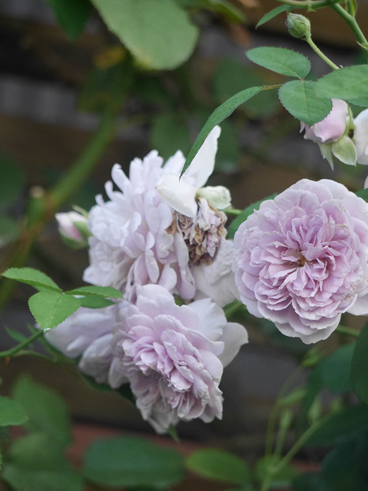 レイニーブルー(Rainy Blue)の夏花が咲いた。ツルバラ。2021年-006.jpg