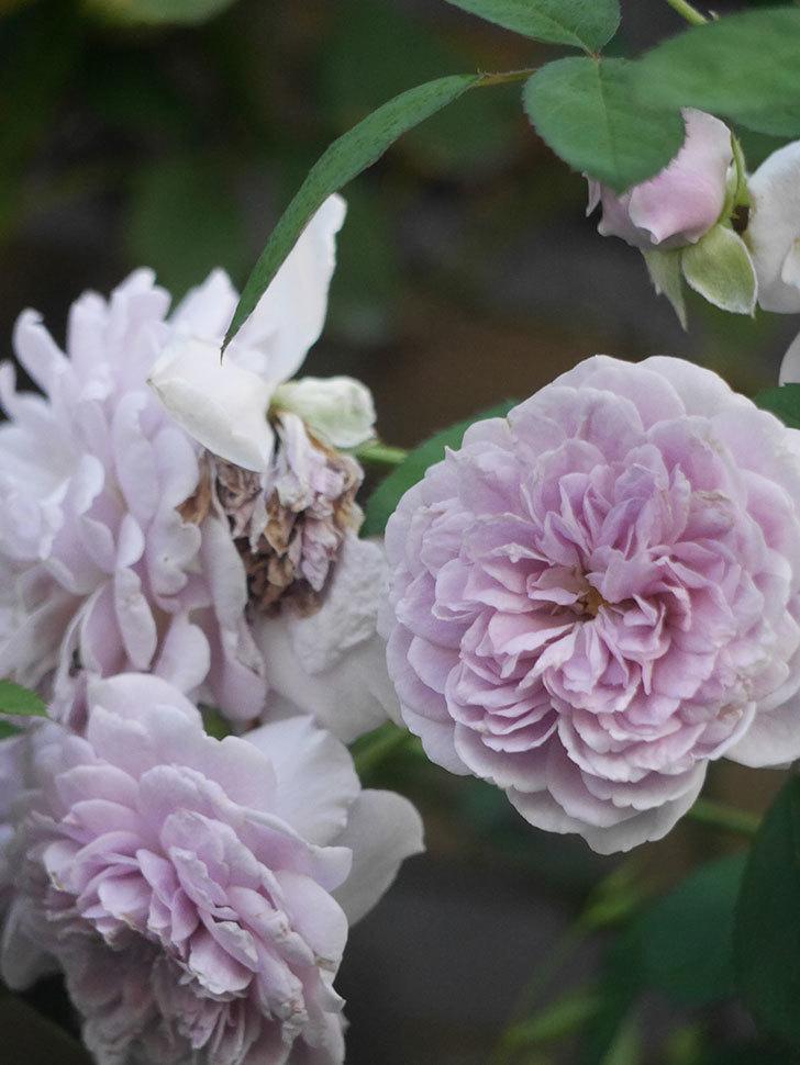 レイニーブルー(Rainy Blue)の夏花が咲いた。ツルバラ。2021年-007.jpg