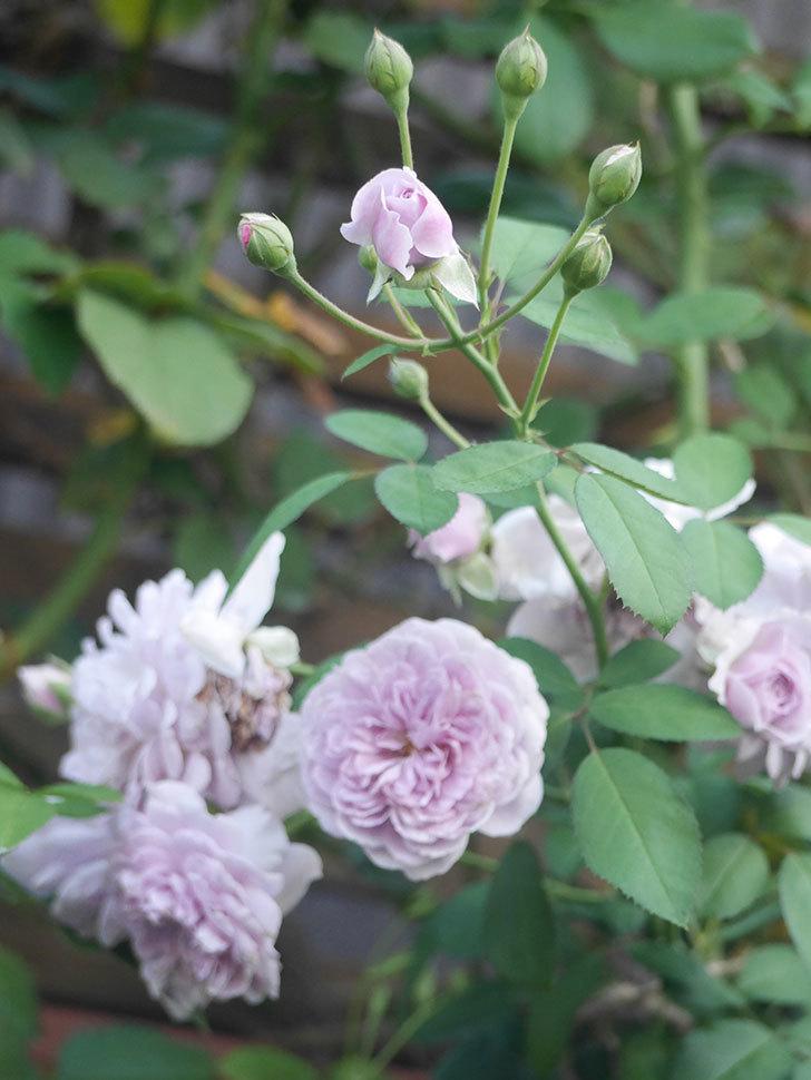レイニーブルー(Rainy Blue)の夏花が咲いた。ツルバラ。2021年-008.jpg