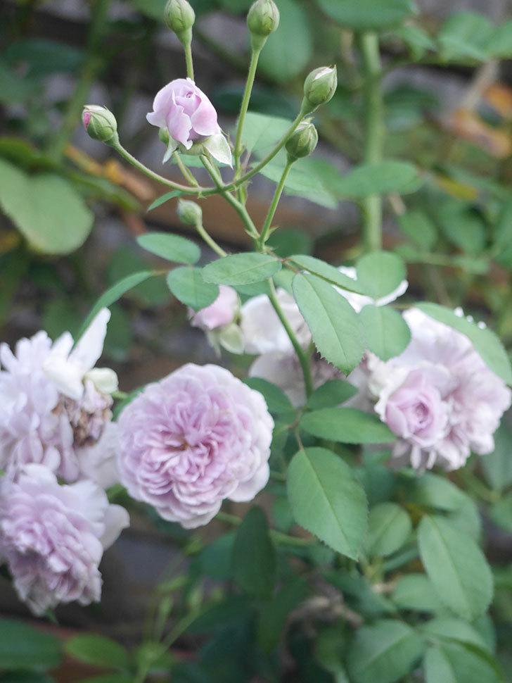 レイニーブルー(Rainy Blue)の夏花が咲いた。ツルバラ。2021年-009.jpg