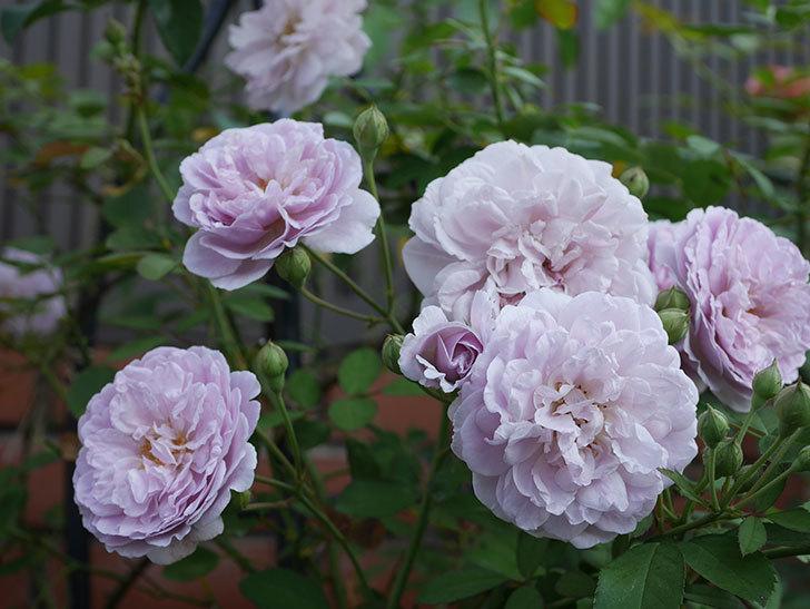 レイニーブルー(Rainy Blue)の夏花が増えてきた。ツルバラ。2020年-001.jpg