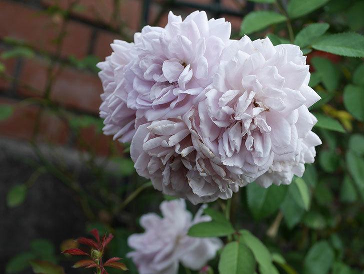 レイニーブルー(Rainy Blue)の夏花が増えてきた。ツルバラ。2020年-003.jpg