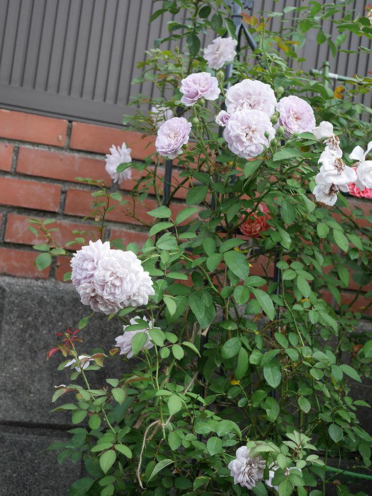 レイニーブルー(Rainy Blue)の夏花が増えてきた。ツルバラ。2020年-004.jpg