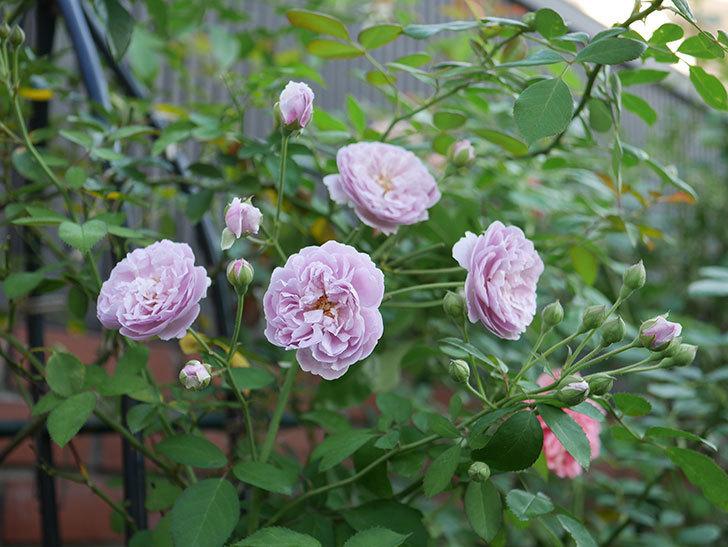 レイニーブルー(Rainy Blue)の夏花が増えてきた。ツルバラ。2020年-005.jpg