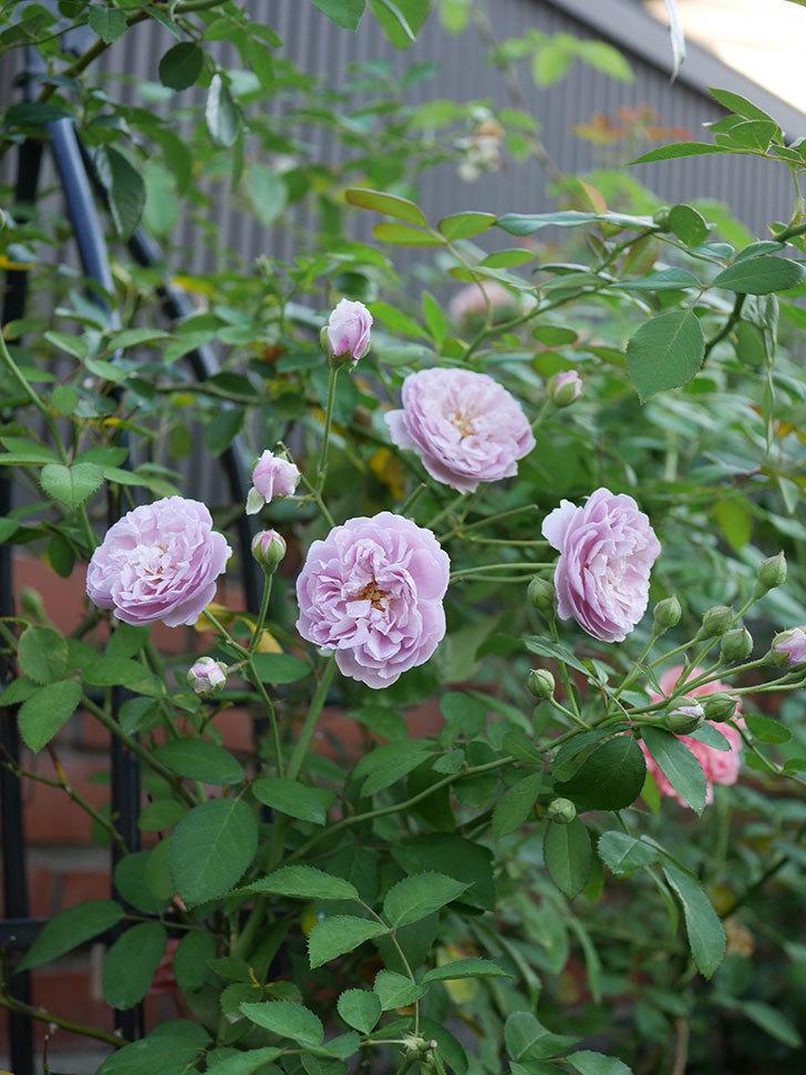 レイニーブルー(Rainy Blue)の夏花が増えてきた。ツルバラ。2020年-006.jpg