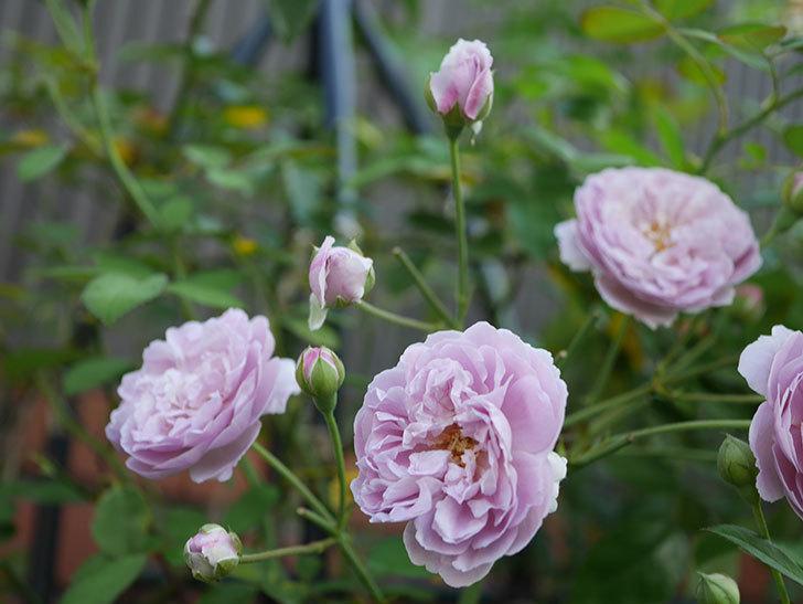 レイニーブルー(Rainy Blue)の夏花が増えてきた。ツルバラ。2020年-007.jpg
