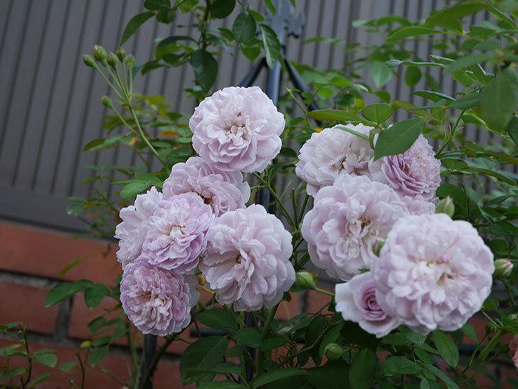 レイニーブルー(Rainy Blue)の夏花が増えてきた。ツルバラ。2020年-009.jpg
