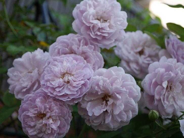 レイニーブルー(Rainy Blue)の夏花が増えてきた。ツルバラ。2020年-010.jpg