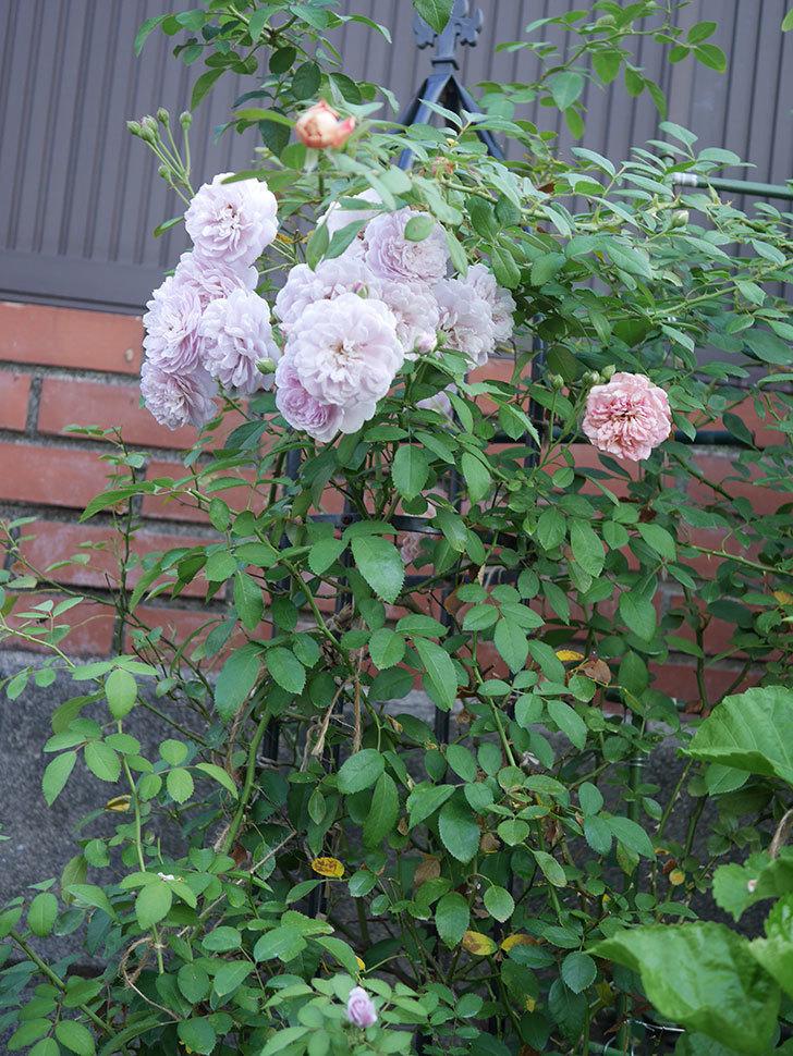 レイニーブルー(Rainy Blue)の夏花が増えてきた。ツルバラ。2020年-011.jpg