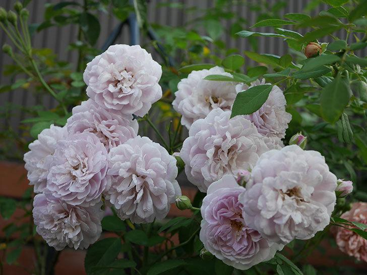 レイニーブルー(Rainy Blue)の夏花が増えてきた。ツルバラ。2020年-012.jpg