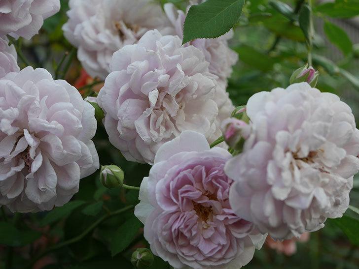 レイニーブルー(Rainy Blue)の夏花が増えてきた。ツルバラ。2020年-013.jpg
