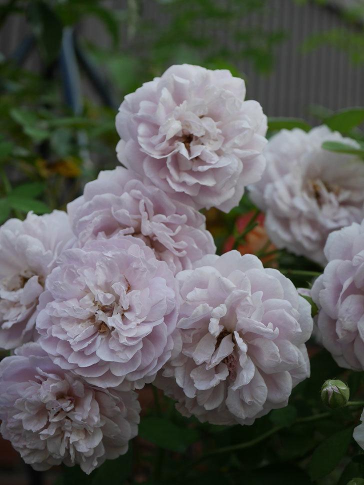 レイニーブルー(Rainy Blue)の夏花が増えてきた。ツルバラ。2020年-014.jpg