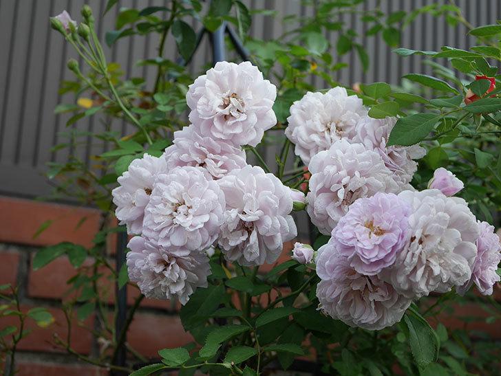 レイニーブルー(Rainy Blue)の夏花が増えてきた。ツルバラ。2020年-015.jpg
