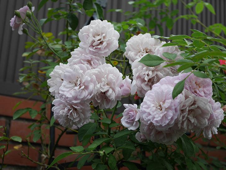 レイニーブルー(Rainy Blue)の夏花が増えてきた。ツルバラ。2020年-016.jpg