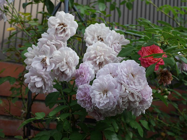 レイニーブルー(Rainy Blue)の夏花が増えてきた。ツルバラ。2020年-019.jpg