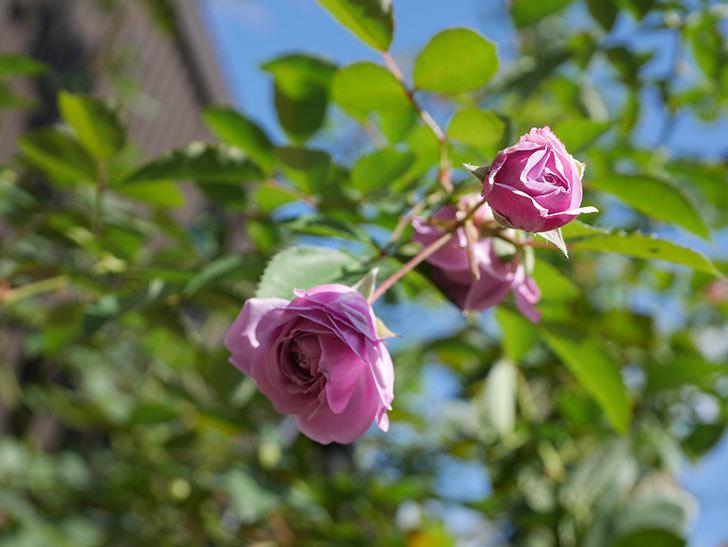 レイニーブルー(Rainy Blue)の秋花がたくさん咲いた。ツルバラ。2020年-003.jpg