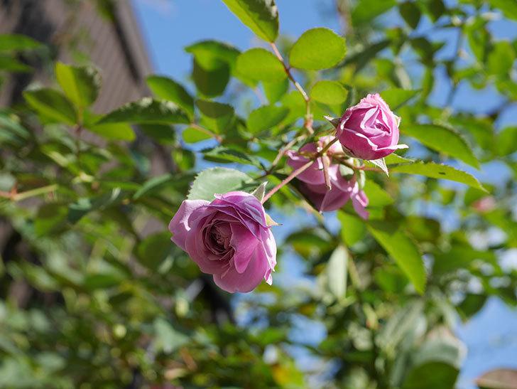レイニーブルー(Rainy Blue)の秋花がたくさん咲いた。ツルバラ。2020年-004.jpg