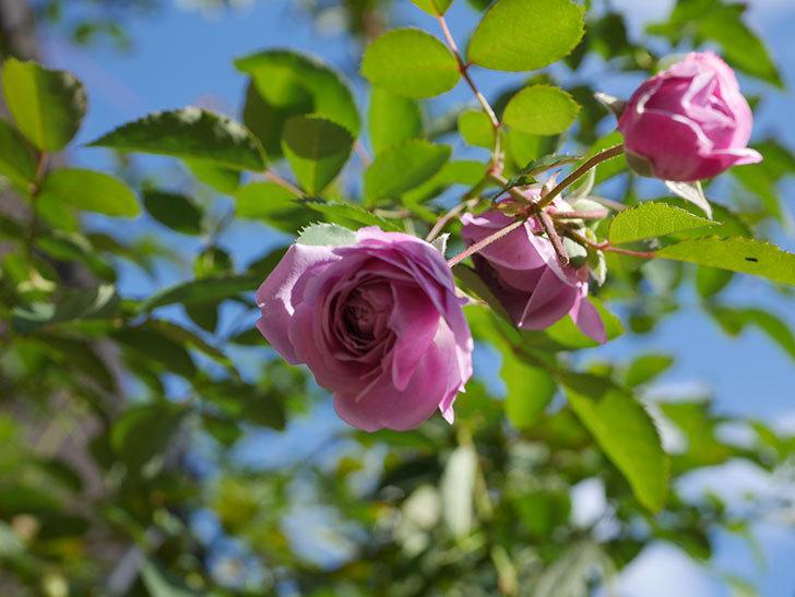 レイニーブルー(Rainy Blue)の秋花がたくさん咲いた。ツルバラ。2020年-006.jpg