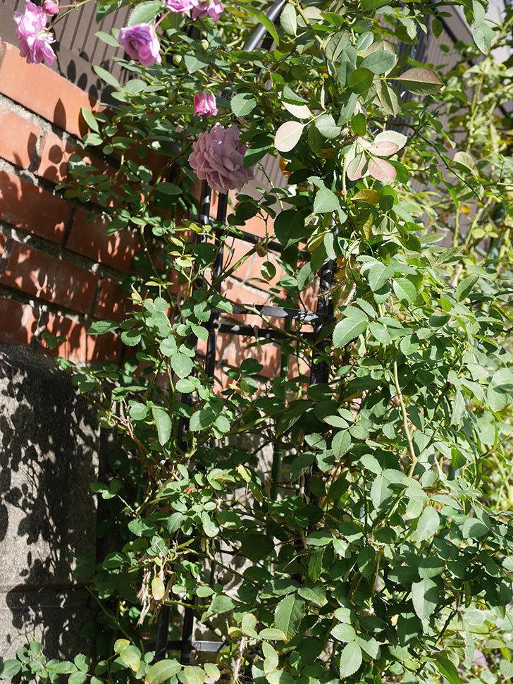 レイニーブルー(Rainy Blue)の秋花がたくさん咲いた。ツルバラ。2020年-008.jpg