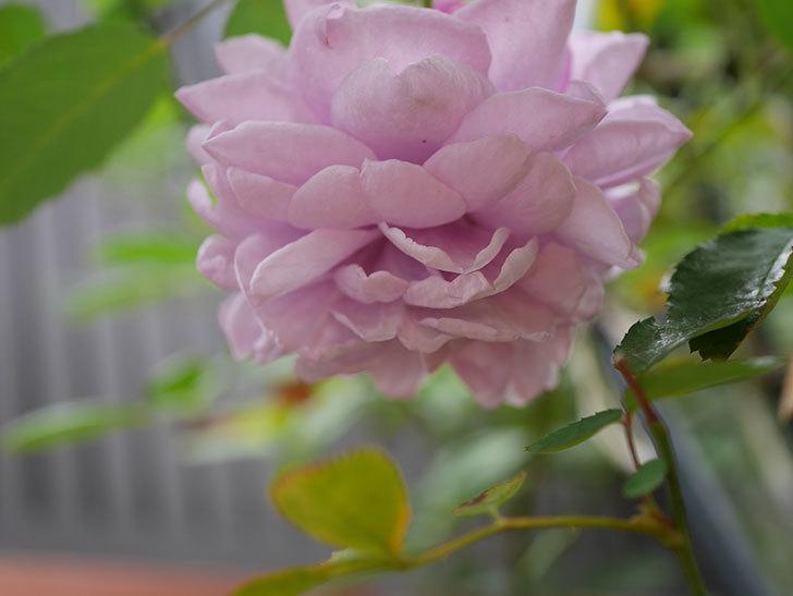 レイニーブルー(Rainy Blue)の秋花がたくさん咲いた。ツルバラ。2020年-010.jpg