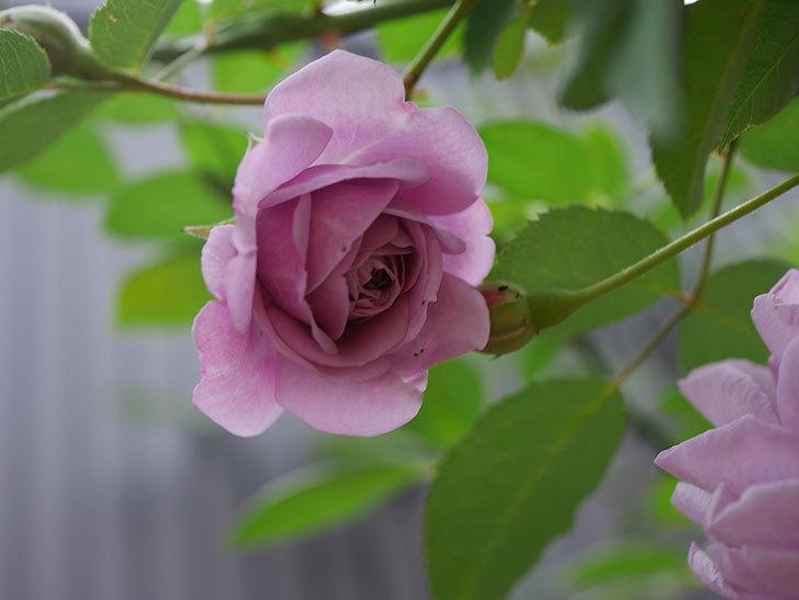 レイニーブルー(Rainy Blue)の秋花がたくさん咲いた。ツルバラ。2020年-011.jpg