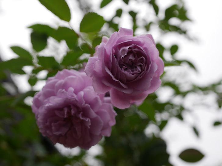 レイニーブルー(Rainy Blue)の秋花がたくさん咲いた。ツルバラ。2020年-013.jpg