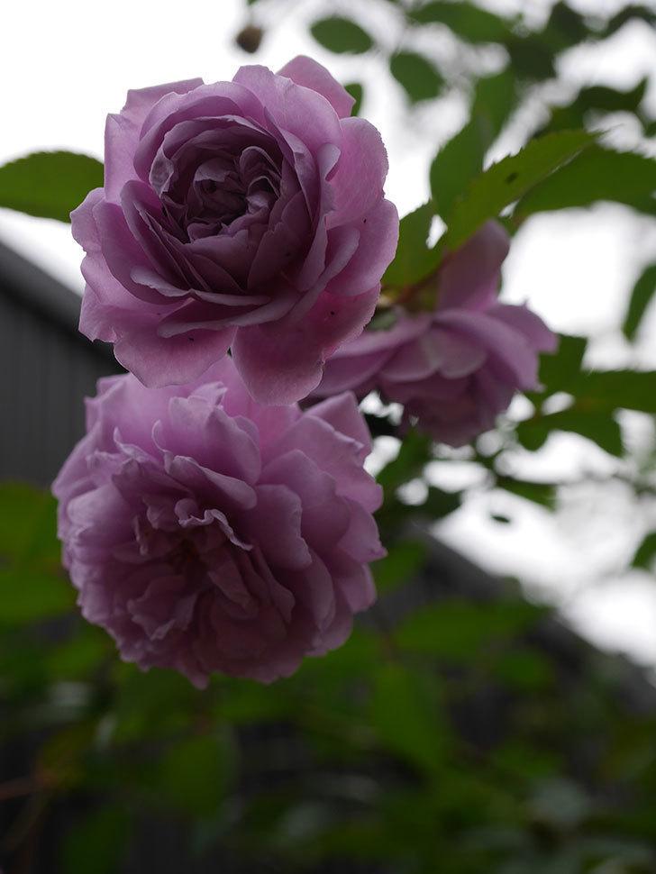 レイニーブルー(Rainy Blue)の秋花がたくさん咲いた。ツルバラ。2020年-014.jpg