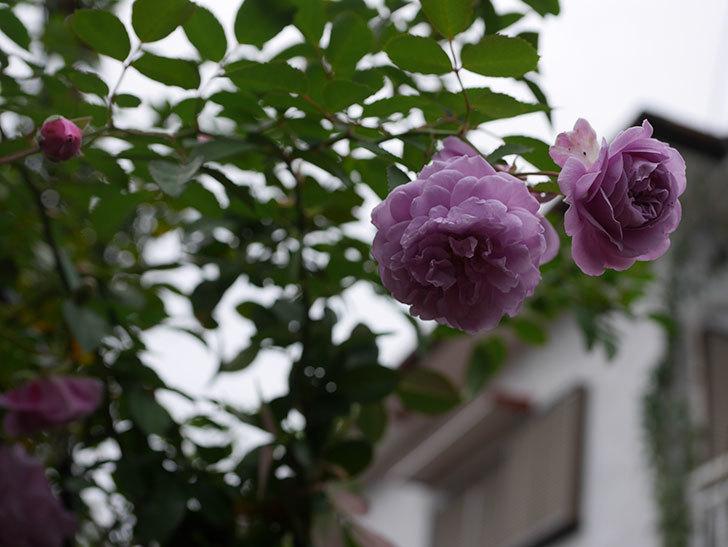 レイニーブルー(Rainy Blue)の秋花がたくさん咲いた。ツルバラ。2020年-017.jpg