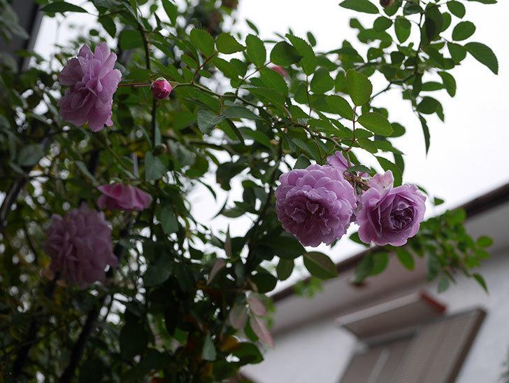 レイニーブルー(Rainy Blue)の秋花がたくさん咲いた。ツルバラ。2020年-018.jpg